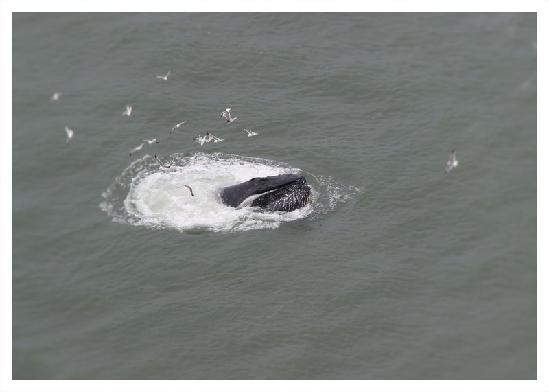 Pictures of humpback whales under the Golden Gate bridge